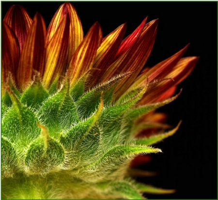 Fiery Sunflower