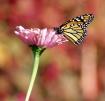 Monarch Pink