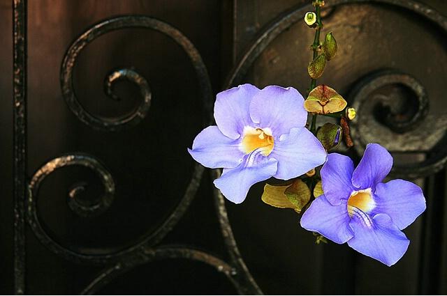 Petals and Iron