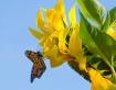 Butterfly on Sunf...
