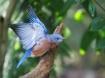 Blue Bird of Hapi...