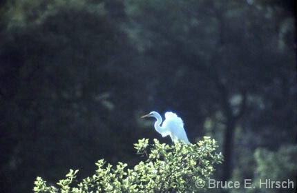 Egret, Nigeria - ID: 4785305 © Bruce E. Hirsch