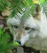 Gray Wolf at Busc...