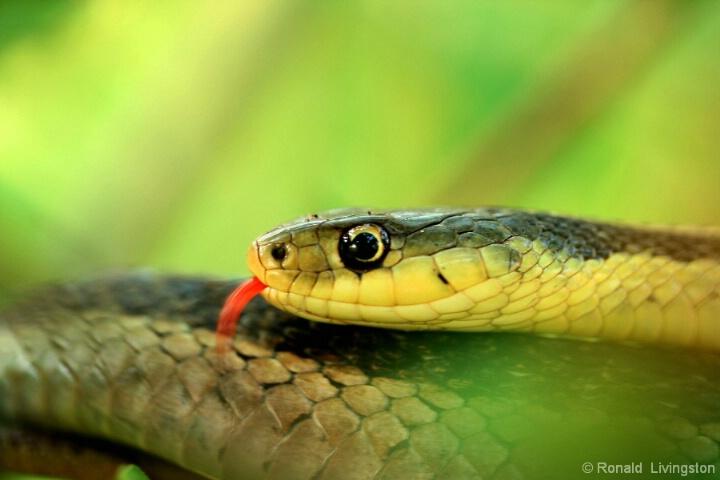 Tongue Lashing - ID: 4802972 © Ron Livingston
