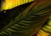 Canna Leaves Abst...