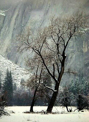 Yosemite Tree - ID: 4810767 © Daryl R. Lucarelli