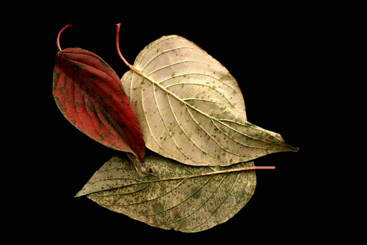 Three Fall Leaves