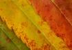 3 Sumac Leaves