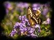 swallowtail frame...
