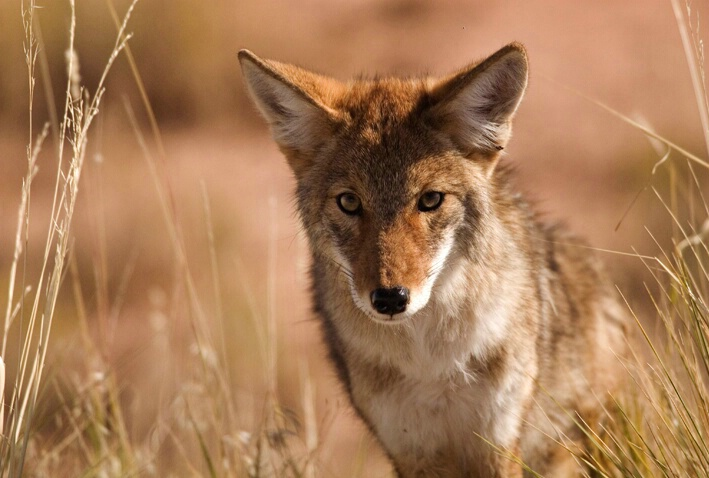 Brother Coyote
