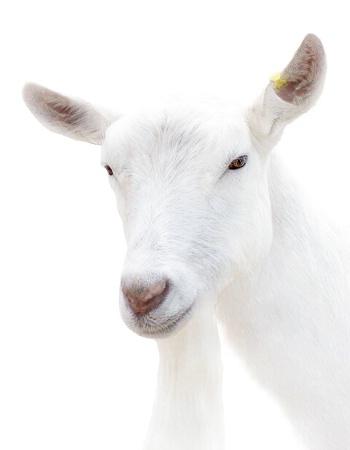 Portrait of a Billy Goat