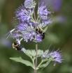 Brooklyn Bees