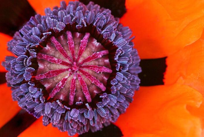 Poppy Patterns