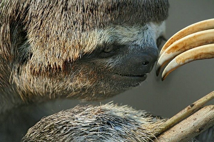 Sloth - ID: 4888229 © Kathy Reeves
