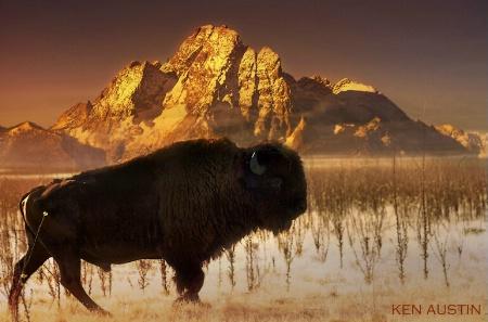 ~ Teton Buffalo ~