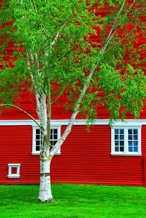 Country Birch