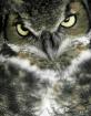 Great Horned Owl....