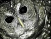 Spotted Owl..