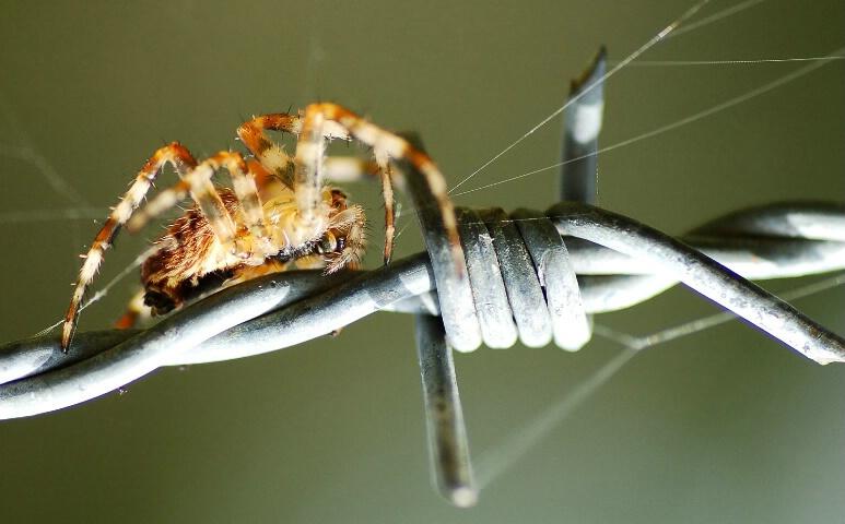 spider VS barbed wire
