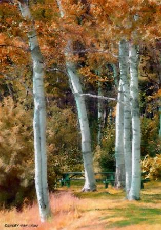 ~Maine Birch~