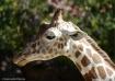 A Giraffe Portrai...