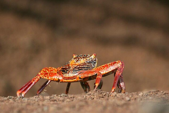 Sally Lightfoot Crab - ID: 4979813 © Kathy Reeves