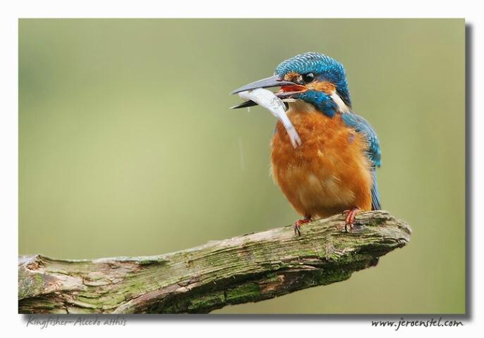 Kingfisher(-Man..) strikes again...