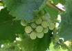 Roadside vineyard