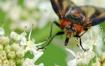 A grazy fly