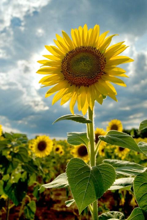 Sunflower Sunblock