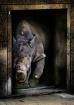 rhino at the door