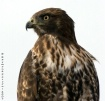 Red-tailed Hawk [...