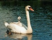 Proud Mother Swan