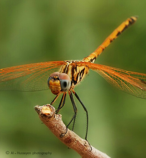 Dragonfly Golden