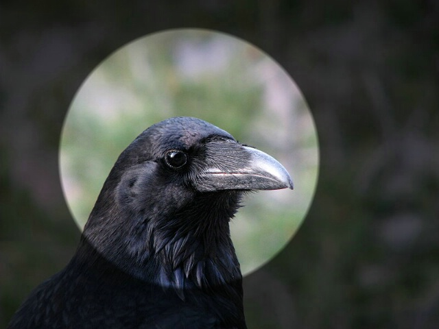 """<b>""""Blackbird""""</b>"""