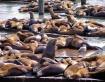 Sea Lions At Fish...