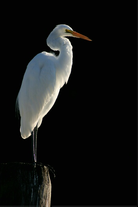 Great Egret in Morning Light