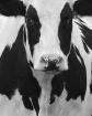 Cow in B&W