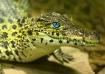 Juvenile Alligato...