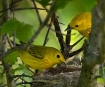 Yellow Warblers a...