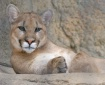 My Cougar