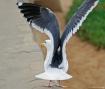 Gull taking off