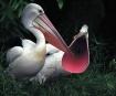 Shouting Pelican