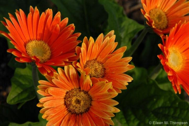 Gerber Sunshine
