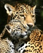 Jaguar Mother wit...