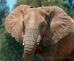 African Elephant ...