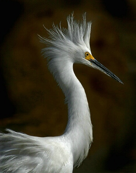 Portrait of an Egret - ID: 5237452 © Kathy Reeves