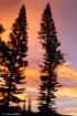 Sunrise Pines