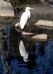 Egret standing