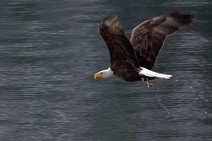Eagle fishing 1 - ID: 5333469 © Jim Kinnunen